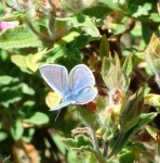 Holly Blue Butterfly - Ventnor